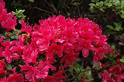 Hino Crimson Azalea (Rhododendron 'Hino Crimson') at Roger's Gardens