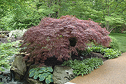 Red Select Japanese Maple (Acer palmatum 'Red Select') at Roger's Gardens