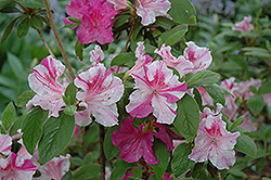 Encore Autumn Twist Azalea (Rhododendron 'Conlep') at Roger's Gardens
