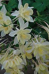Origami Yellow and White Columbine (Aquilegia 'Origami Yellow and White') at Roger's Gardens