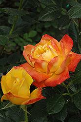Judy Garland Rose (Rosa 'Judy Garland') at Roger's Gardens