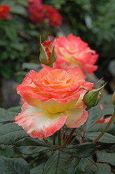 Chihuly Rose (Rosa 'Chihuly') at Roger's Gardens