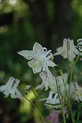 McKana White Columbine (Aquilegia 'McKana White') at Roger's Gardens