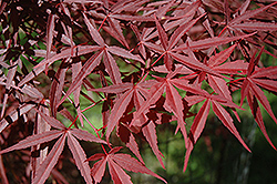 Beni Otake Japanese Maple (Acer palmatum 'Beni Otake') at Roger's Gardens