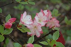 Apple Blossom Azalea (Rhododendron 'Apple Blossom') at Roger's Gardens