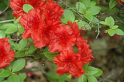 Girard's Hot Shot Azalea (Rhododendron 'Girard's Hot Shot') at Roger's Gardens