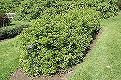 Lalandei Scarlet Firethorn (Pyracantha coccinea 'Lalandei') at Roger's Gardens