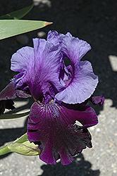 Fatal Attraction Iris (Iris 'Fatal Attraction') at Roger's Gardens