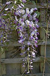 Issai Japanese Wisteria (Wisteria floribunda 'Issai') at Roger's Gardens