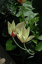 Cynthia Tulip (Tulipa clusiana 'Cynthia') at Roger's Gardens