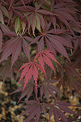 Burgundy Lace Japanese Maple (Acer palmatum 'Burgundy Lace') at Roger's Gardens