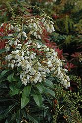 Mountain Fire Japanese Pieris (Pieris japonica 'Mountain Fire') at Roger's Gardens