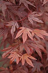 Fireglow Japanese Maple (Acer palmatum 'Fireglow') at Roger's Gardens