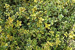 Doone Valley Thyme (Thymus 'Doone Valley') at Roger's Gardens