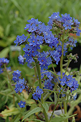 Blue Angel Summer Forget-Me-Not (Anchusa capensis 'Blue Angel') at Roger's Gardens