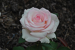 Moonstone Rose (Rosa 'Moonstone') at Roger's Gardens