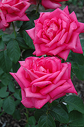 Miss All American Beauty Rose (Rosa 'Miss All American Beauty') at Roger's Gardens