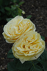 Michelangelo Rose (Rosa 'Michelangelo') at Roger's Gardens