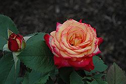 Mardi Gras Rose (Rosa 'Mardi Gras') at Roger's Gardens