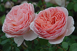 Abraham Darby Rose (Rosa 'Abraham Darby') at Roger's Gardens