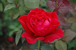 Mister Lincoln Rose (Rosa 'Mister Lincoln') at Roger's Gardens