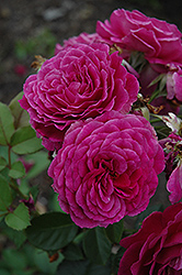Ebb Tide Rose (Rosa 'Ebb Tide') at Roger's Gardens