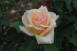 Medallion Rose (Rosa 'Medallion') at Roger's Gardens