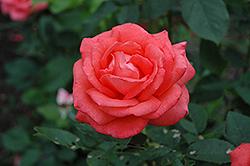 Tropicana Rose (Rosa 'Tropicana') at Roger's Gardens