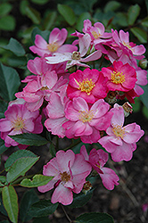 Daydream Rose (Rosa 'Daydream') at Roger's Gardens