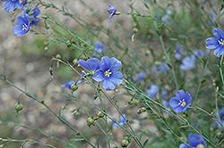 Sapphire Perennial Flax (Linum perenne 'Sapphire') at Roger's Gardens
