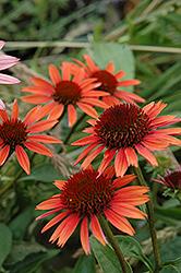 Big Sky Sundown Coneflower (Echinacea 'Big Sky Sundown') at Roger's Gardens