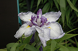 Cascade Spice Japanese Iris (Iris ensata 'Cascade Spice') at Roger's Gardens