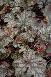 Can Can Coral Bells (Heuchera 'Can Can') at Roger's Gardens