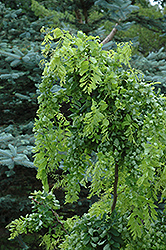 Twisted Baby Black Locust (Robinia pseudoacacia 'Lace Lady') at Roger's Gardens