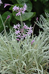 Tricolor Variegated Society Garlic (Tulbaghia violacea 'Tricolor') at Roger's Gardens
