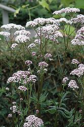 Common Valerian (Valeriana officinalis) at Roger's Gardens