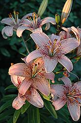 Tropical Breeze Lily (Lilium 'Tropical Breeze') at Roger's Gardens