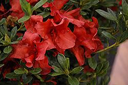 Encore Autumn Bravo Azalea (Rhododendron 'Conlen') at Roger's Gardens