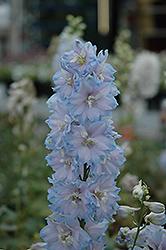 Magic Fountains Sky Blue Larkspur (Delphinium 'Magic Fountains Sky Blue') at Roger's Gardens