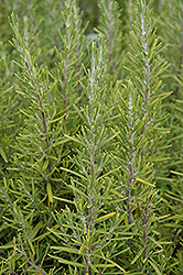 Upright Rosemary (Rosmarinus officinalis 'Upright') at Roger's Gardens
