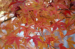 Butterfly Variegated Japanese Maple (Acer palmatum 'Butterfly') at Roger's Gardens