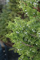 Hollywood Juniper (Juniperus chinensis 'Torulosa') at Roger's Gardens