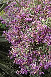 Variegated Oval Leafed Mint Bush (Prostanthera ovalifolia 'Variegata') at Roger's Gardens