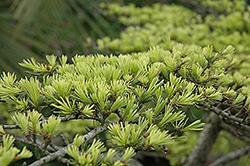 Golden Deodar Cedar (Cedrus deodara 'Aurea') at Roger's Gardens