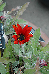 Red Torch African Daisy (Arctotis 'Red Torch') at Roger's Gardens