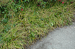 Golden Wood Rush (Luzula sylvatica 'Aurea') at Roger's Gardens