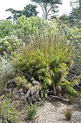 Dekriet (Rhodocoma gigantea) at Roger's Gardens