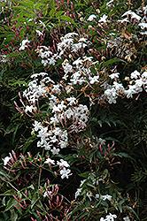Climbing Jasmine (Jasminum polyanthum) at Roger's Gardens
