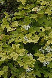 White-Flowered Chinese Fringeflower (Loropetalum chinense 'Album') at Roger's Gardens