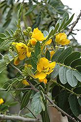 Buttercup Bush (Senna multiglandulosa) at Roger's Gardens